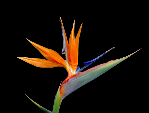 flowers tulips bird of paradise