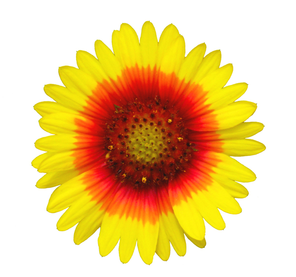 Blanket flower image id 1 274 indian blanket flower image id 1 275